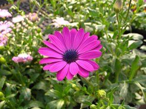 pinkdaisy-ca586577-web-300x225