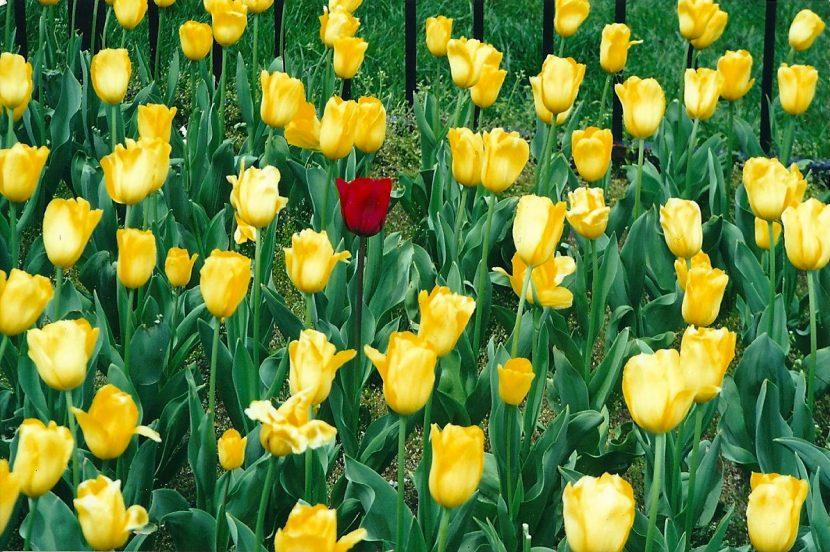 Unique-meditation-red-tulip-holton