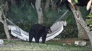 blackbear-hammock